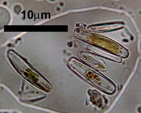 diatoms in tufa crust